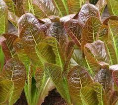 Lettuce Seeds Red Romaine (Heirloom)