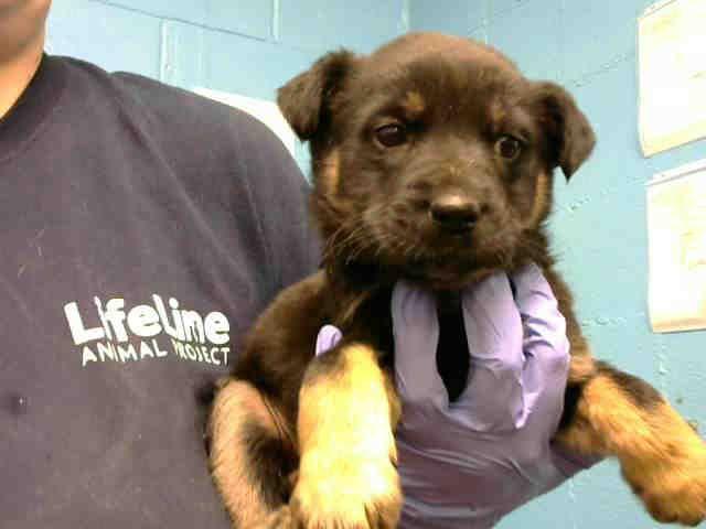Atlanta Ga Rottweiler Mix Meet Daisy A Dog For Adoption