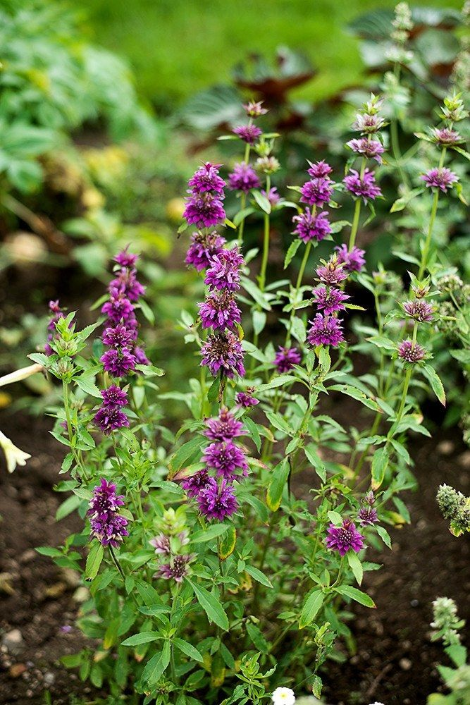 Annual (Monarda x hybrida) New selection of monarda, with a dwarf habit…
