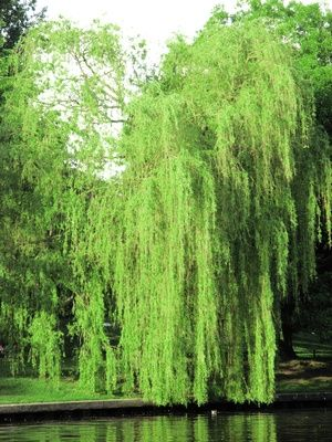 how to grow a weeping willow tree