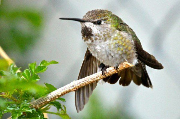 Hummingbirds In Winter How To Attract Hummingbirds Hummingbird Winter Bird
