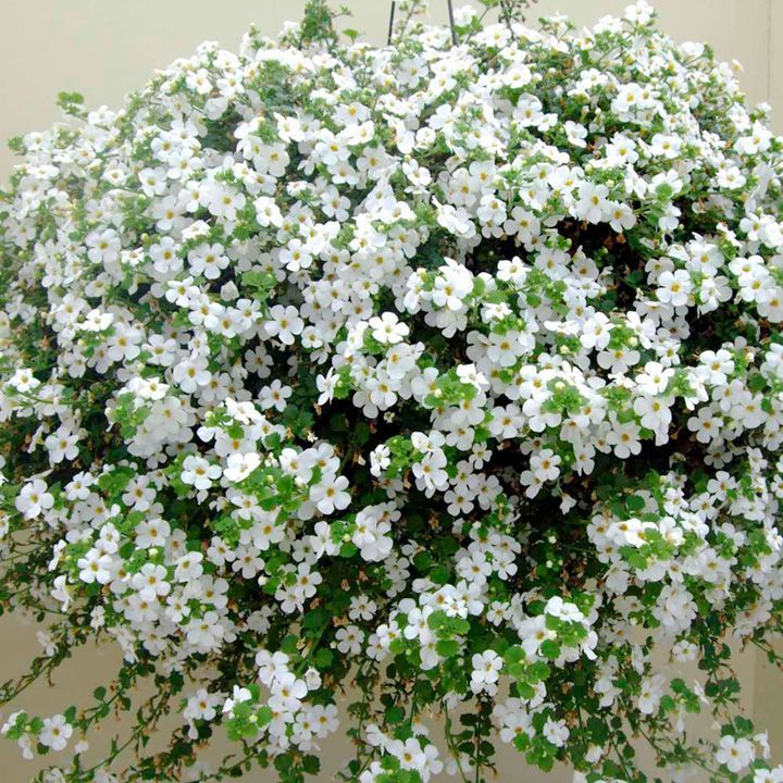 Bacopa plants atlas white all flower plants flower