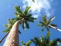 Beautiful old palm trees at Torres Island.