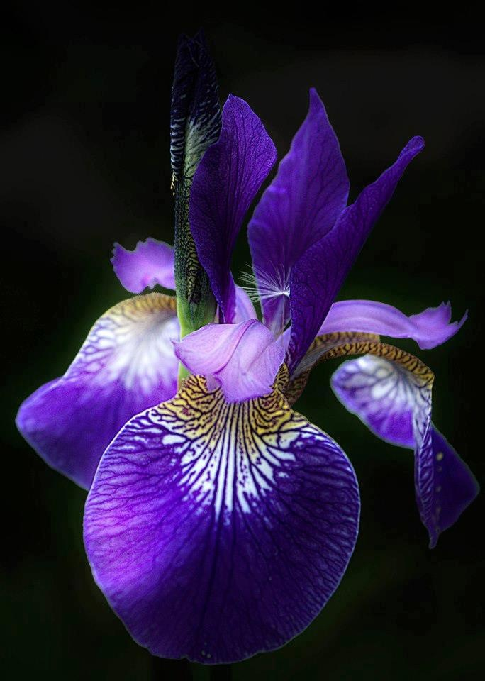 Iris Family: Iridaceae    Legend of the Iris, meaning ~ rainbow ~ in Greek, from the Greek goddess Iris, goddess of the rainbow, who was a messenger on Mount Olympus.