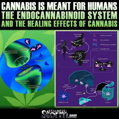 Stillness in the Storm : Cannabis is Meant for Humans | The Endocannabinoid...