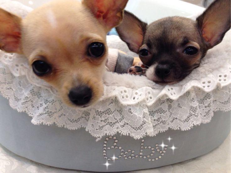 Cuccioli di Chihuahua disponibili in boutique❤️per tutte le informazioni contattarmi in orario boutique allo 0119581609❤️