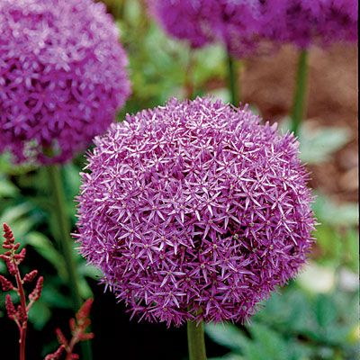 Allium is not only unique (think awesome centerpiece) but repels animals such as deer. Perennial!