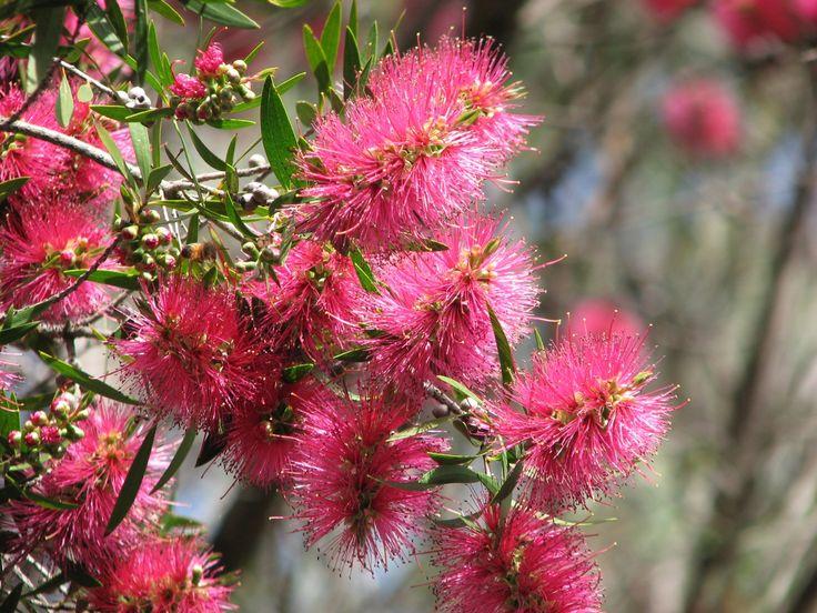 Pink Bottlebrush (Callistemon 'Eureka')