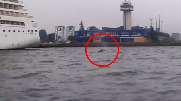 U polskich brzegów Morza Bałtyckiego został zaobserwowany duży waleń. Eksperci nie wiedzą jeszcze, co to za gatunek, ale apelują o zgłaszanie wszelkich obserwacji tego morskiego ssaka.