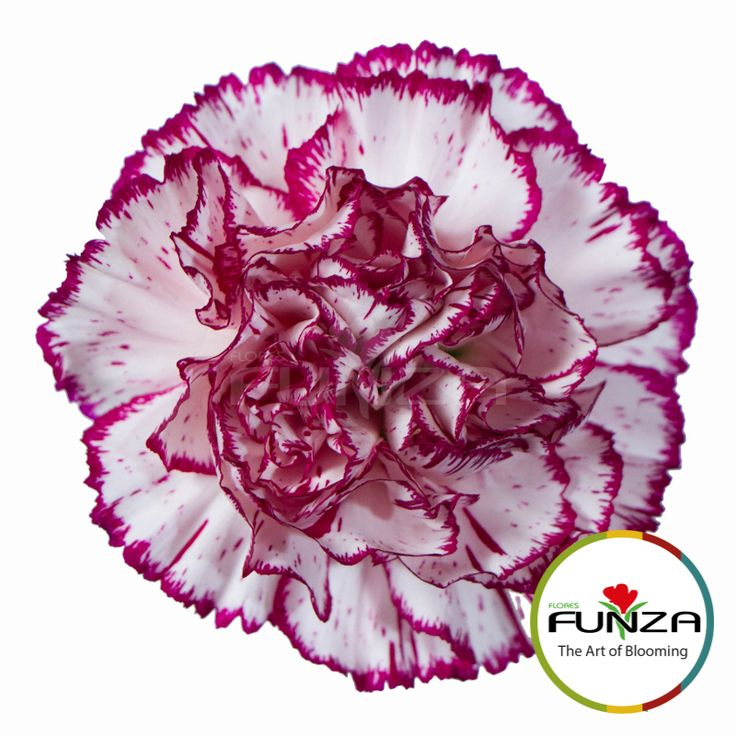 Bicolor Purple Carnation from Flores Funza. Variety: Megan. Availability: Year-round.