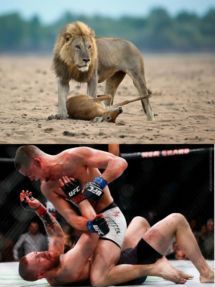 LION Nate Diaz vs GAZELLE Conor McGregor : if you love #MMA, you'll love the #UFC & #MixedMartialArts inspired fashion at CageCult: http://cagecult.com/mma