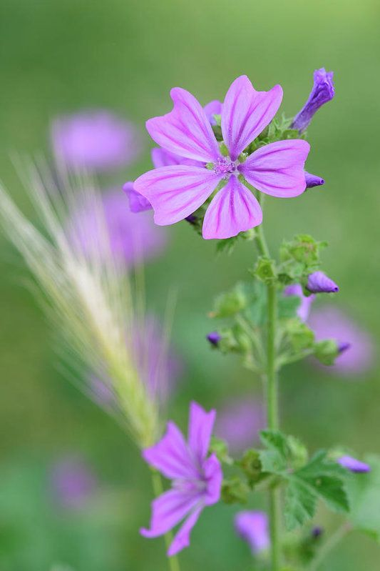 Art prints for sale.  The common Mallow plant has been used in folk medicine for ages. This plant is supposed to reduce fever, heal insect bites, induce labour, and... best of all... cure stupidity!
