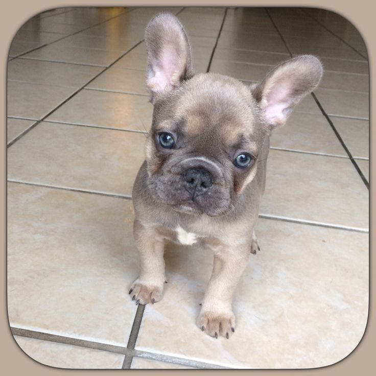 'Cora', a Blue Fawn French Bulldog, frenchie