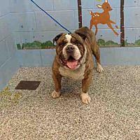 Pictures of URGENT on 1/9 SAN BERNARDINO a English Bulldog for adoption in San Bernardino, CA who needs a loving home.