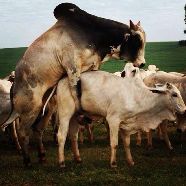 Efecto de la Condición Corporal sobre la fertilidad del bovino (revisión de literatura)
