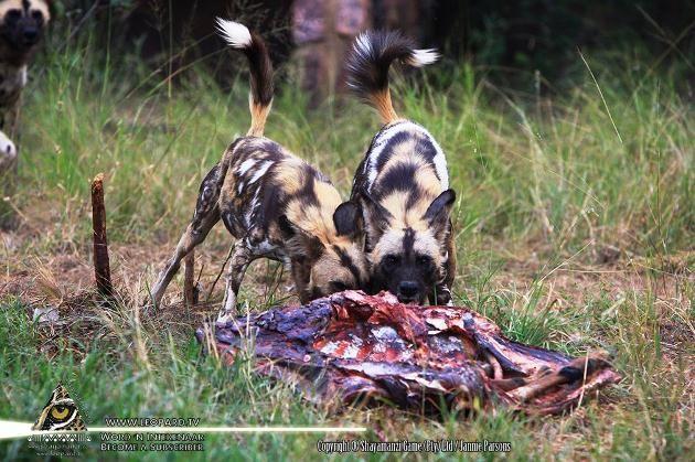 African wild dogs on Shayamanzi