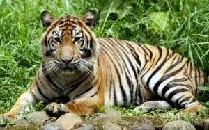 harimau sumatera Panthera Tigris Sumatrae - hewan langka di dunia