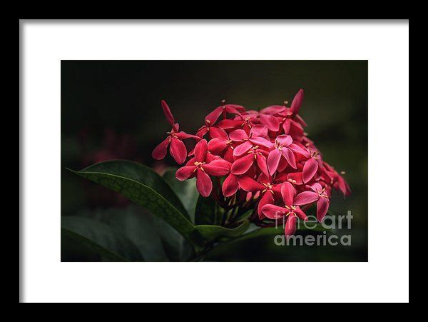 Red Ashoka Flowers Framed Print By Charuhas Images