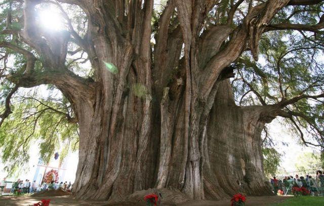 L'Arbol del Tule, un cipresso calvo, si trova nel centro della città di Santa María del Tule, nello stato messicano di Oaxaca. Ha il tronco con il diametro più grande di qualsiasi albero del mondo, circa 14 metri, con una circonferenza di circa 42 metri, e un'altezza di 40. Si stima che per abbracciarlo occorrano 30 persone, mentre può ospitarne 500 sotto la sua ombra. La sua età non è conosciuta, ma potrebbe aggirarsi intorno ai 2000 anni.