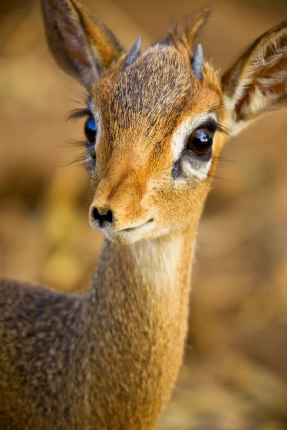 Tiny Deer With Long Eyelashes