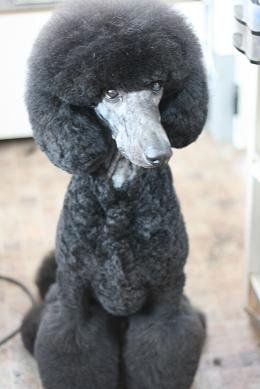 135 best poodle grooming images on pinterest poodle