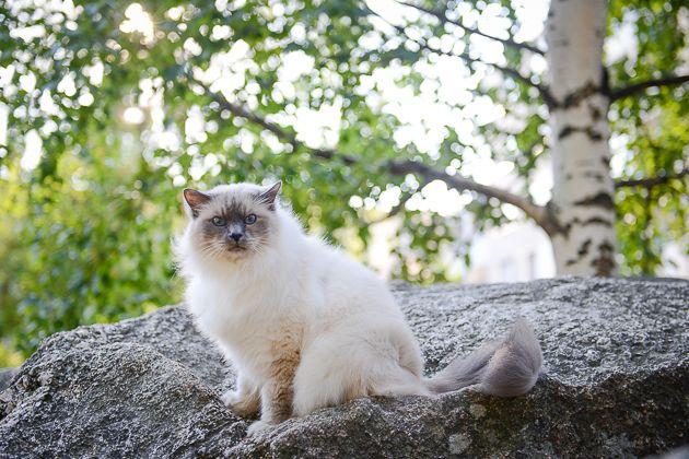 Muotokuva kissasta: Kissi, pyhä birma. Lemmikkikuvauksen salat: kissojen valokuvaaminen - http://www.ifolor.fi/inspire_lemmikkikuvaus_kissat