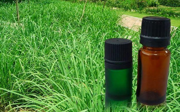 óleo de citronela,aromaterapia,como usar óleo de citronela,citronela afasta mosquito da dengue,óleo essencial de citronela,benefícios da citronela,citronela para cães