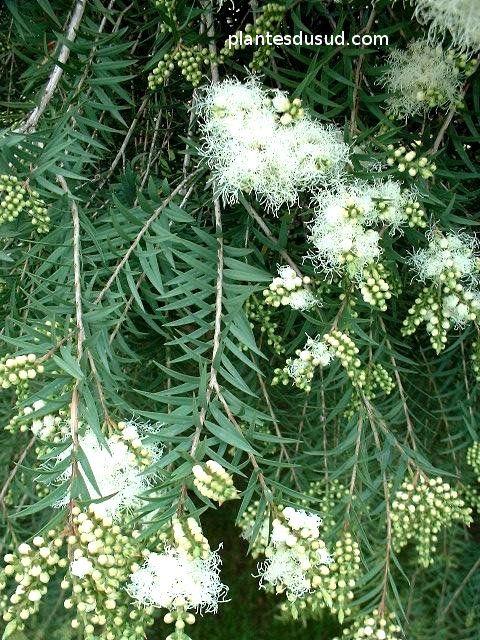 Melaleula Linariifolia 'Snow in Summer'