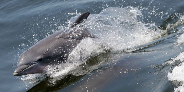 Mass Die-Off Of Dolphins Directly Linked To Deepwater Horizon Spill