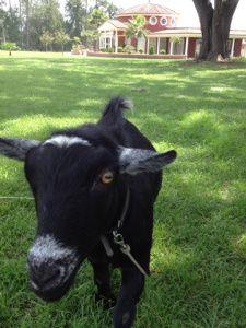 Stavros the Goat