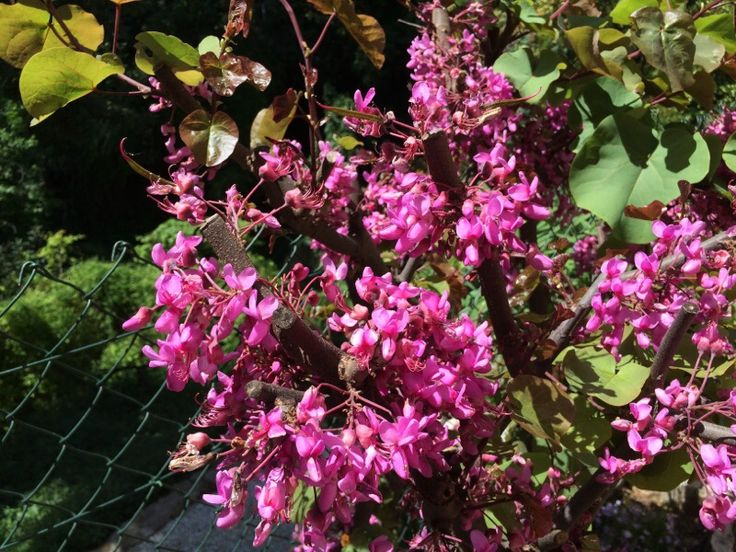 Judas Tree (cercis siliquastrum): A Mediterranean shrub or tree related to the North American Redbud tree. Round leaves; dark pink flowers in spring. Slender, flat seed pods. Poor fall leaf color. Tolerates dry summers and lean soil.
