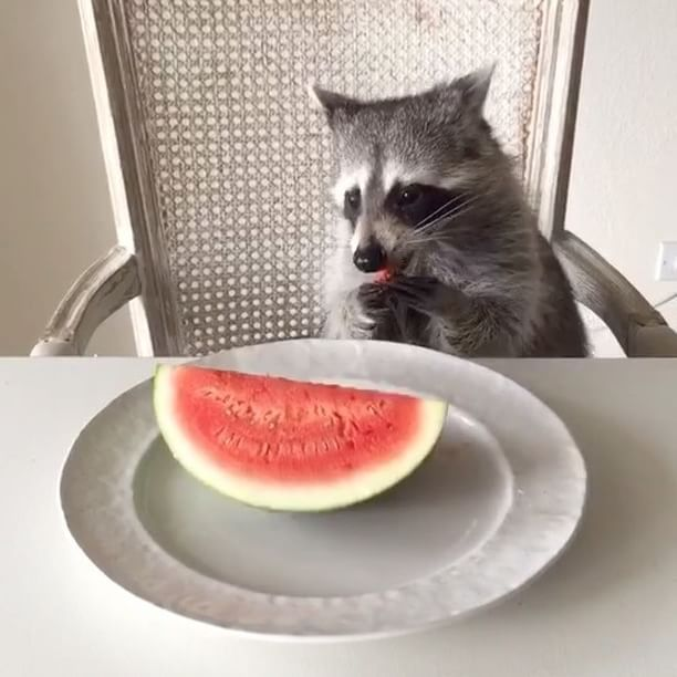 Tame rat sitting in a white chair eating watermelon from a white plate