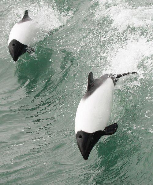 marinemammalblog:  Commerson´s Dolphin,Punta Arenas,141213,Fernando Díaz by Fernando Díaz Segovia on Flickr.