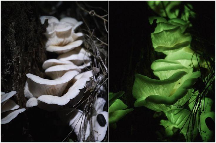 Glow in the Dark Mushrooms (Omphalotus nidiformis)