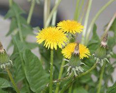 Herbaceous - Taraxacum officinale - Dandelion - Summer
