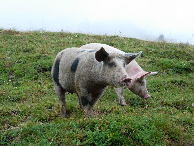 Valle Grana (CN), animali allevati liberi