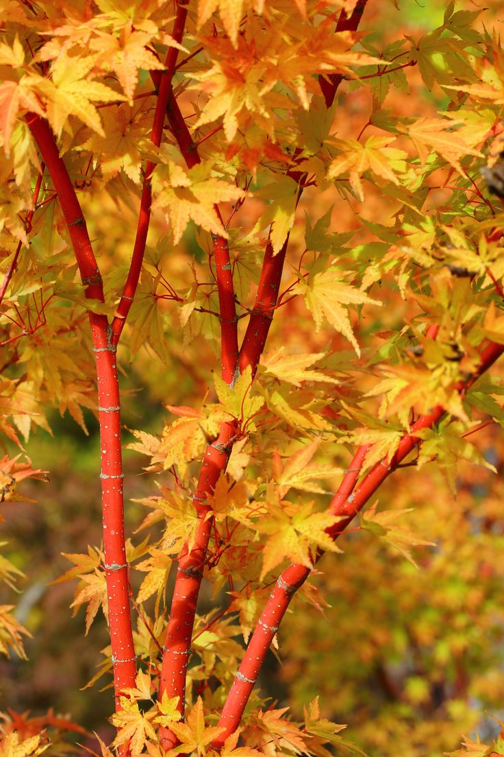 "Acer palmatum 'Sango Kaku' http://www.coniferkingdom.com/Coral_Bark_or_Coral_Tower_Japanese_Maple_p/acer_palmatum_sango_kaku.htm This upright, spreading Japanese maple produces a fabulous show all four seasons. Red margins decorate the yellow-green spring leaves that gradually change to bright green in summer. Yellow-gold and apricot shades produce a striking fall show. 'Sango kaku' means ""coral tower."" It is also known by the common name: 'Coral Bark Maple'"