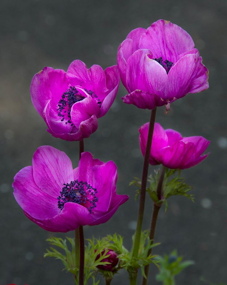 Anemone Flowers: Tips For Anemone Plant Care