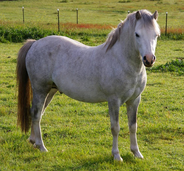 78 best Welsh Mountain Ponies images on Pinterest Welsh pony - best of welsh pony coloring pages