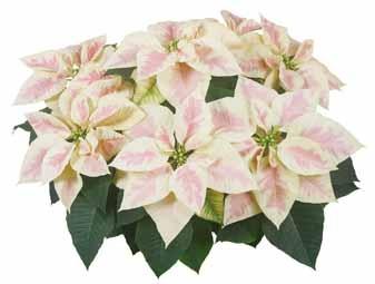 21 Best Poinsettia Images On Pinterest Poinsettia Flower