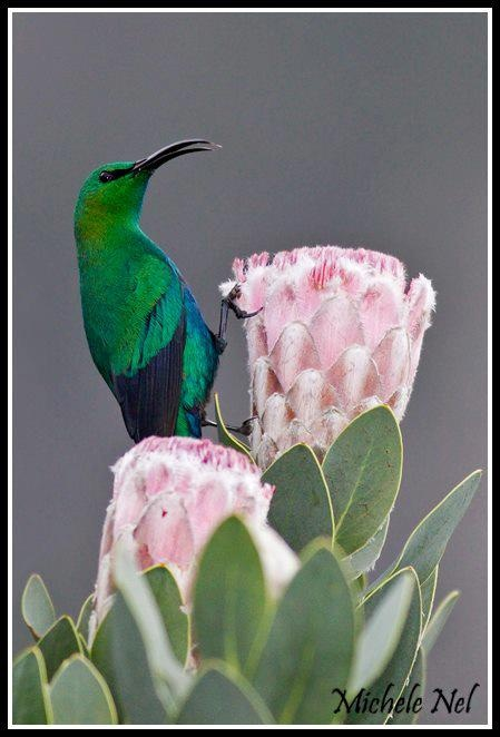 Malachite Sunbird perched on a Sugarbush protea at Kirstenbosch gardens, Cape Town, South Africa.