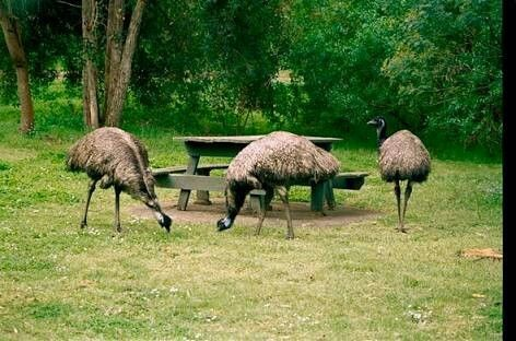 Picnic picturesque Tower Hill Reserve, Koroit, these curious emus will partake in your well prepaired BBQ and picnic!
