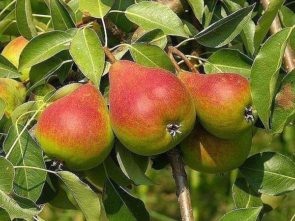 http://ok.ru/group/54333447929867  КАК ПОСАДИТЬ ГРУШУ, ЧТОБЫ БЫСТРО ПОЛУЧИТЬ УРОЖАЙ  У одних груши начинают плодоносить на второй-третий год, а у других – только на пятый-шестой. Причина тут не только в сортах, но и в разной посадке. Важно дать деревьям все, что им нужно для роста и развития, чтобы они быстрее росли и рано вступили в плодоношение.  Во-первых, правильнее будет покупать однолетние саженцы. Они меньше ростом, но и корни у таких деревьев меньше страдают от пересадки из…