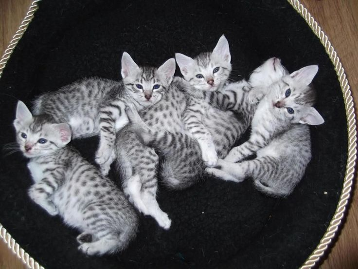 Silver Egyptian Mau | Egyptian Mau Kittens for Sale