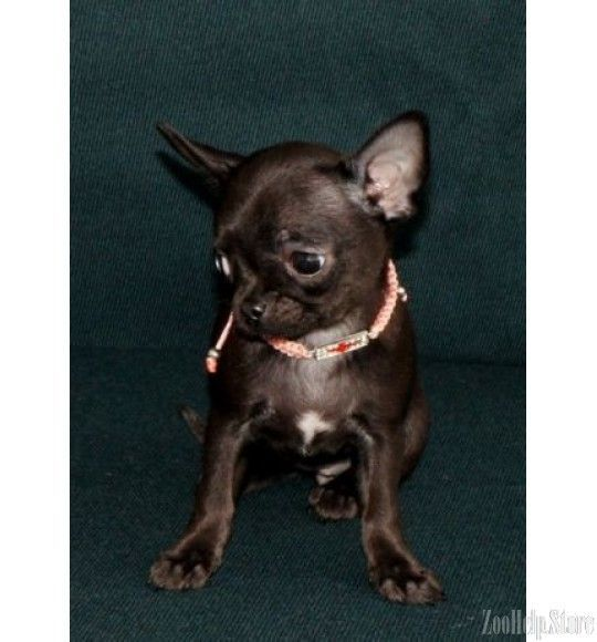 Chihuahua Puppies For Sale In M Chihuahua Puppies For Sale In Md