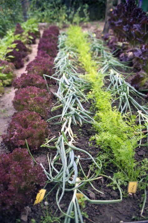 59 besten garten zucchini und k rbis pflanzen bilder auf pinterest gem se k rbisse pflanzen. Black Bedroom Furniture Sets. Home Design Ideas