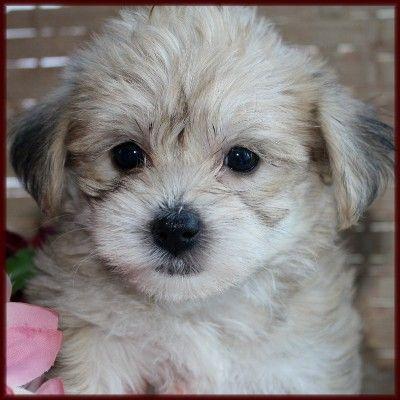 yorkie and bichon mix puppie! | Puppy Love! | Pinterest