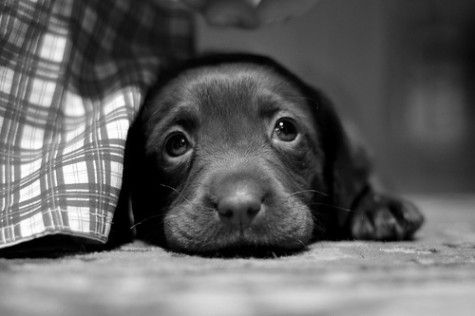 So cute!Awww, Sweets, Puppies Dogs Eye, Pets, Adorable, Box, Labs Puppies, Chocolates Labs, Animal