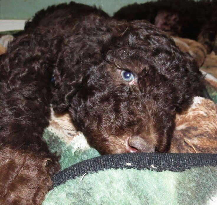 F1B Labradoodle Puppies for Sale in Washington – Summer 2014- Aussiedoodle and Labradoodle Puppies | Best Labradoodle Breeders in Washington State, Portland, Oregon