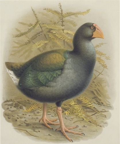 Takahe (Notornis Mantelli) from Buller's Birds of New Zeland